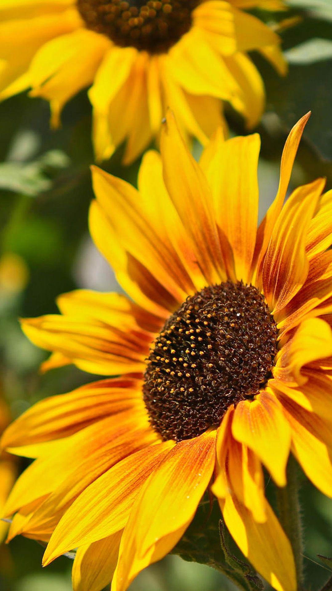Sunflower. 25+ Closeup Flowers Photography iPhone