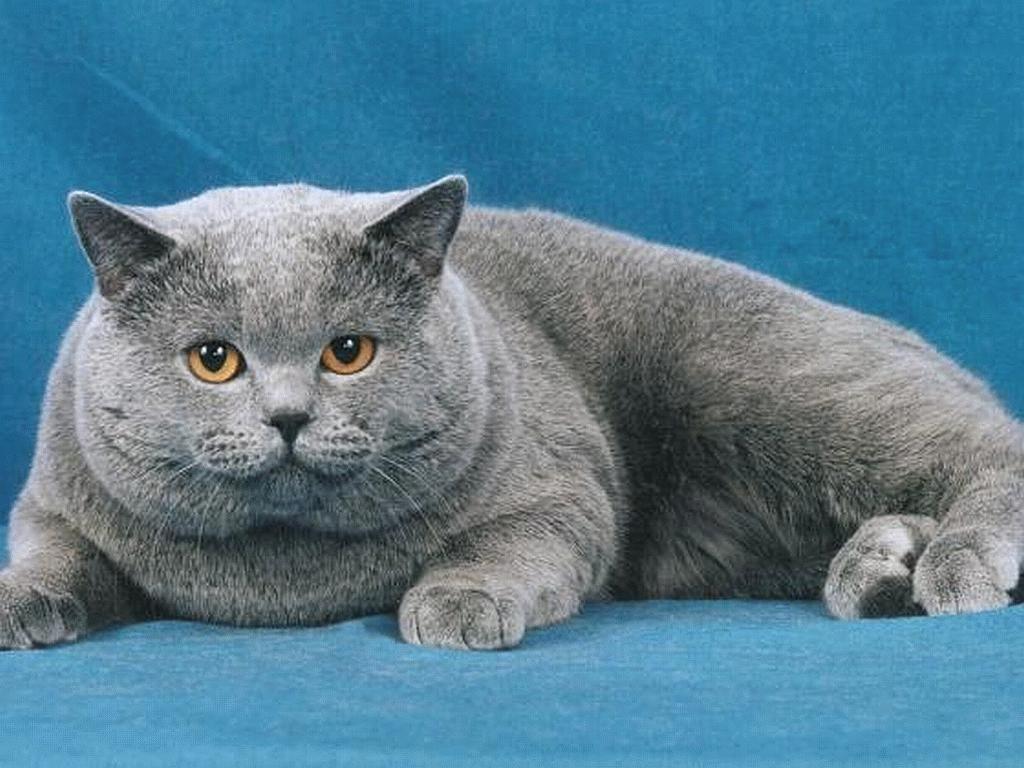 Pretty fat cat Fat Cats Pinterest Cat wallpaper and Cat