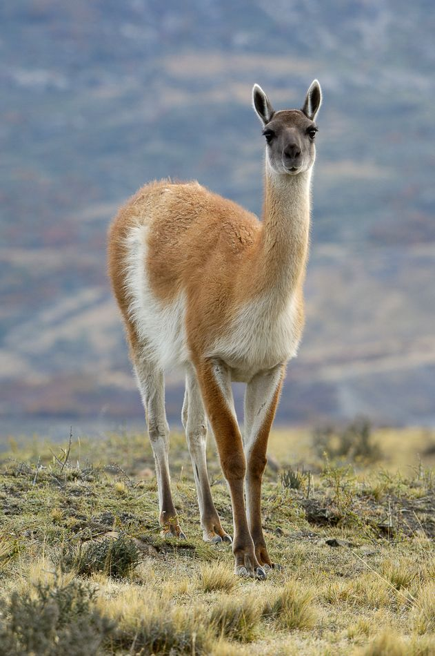 Guanaco, Lama guanicoe, a relative of the camel, native to