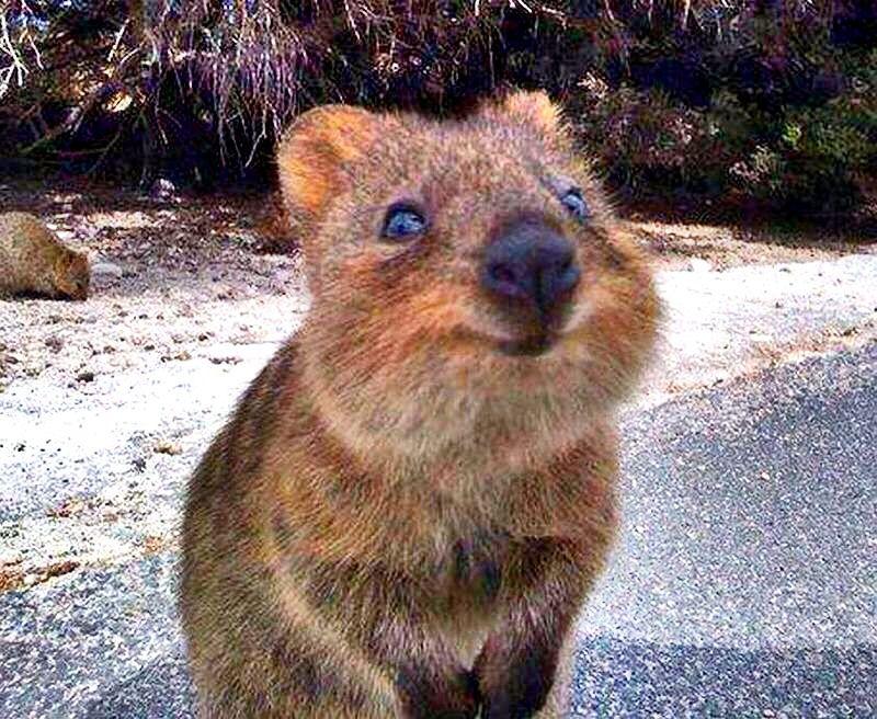 quokka australia wa happy heisalwayshappy wanthim