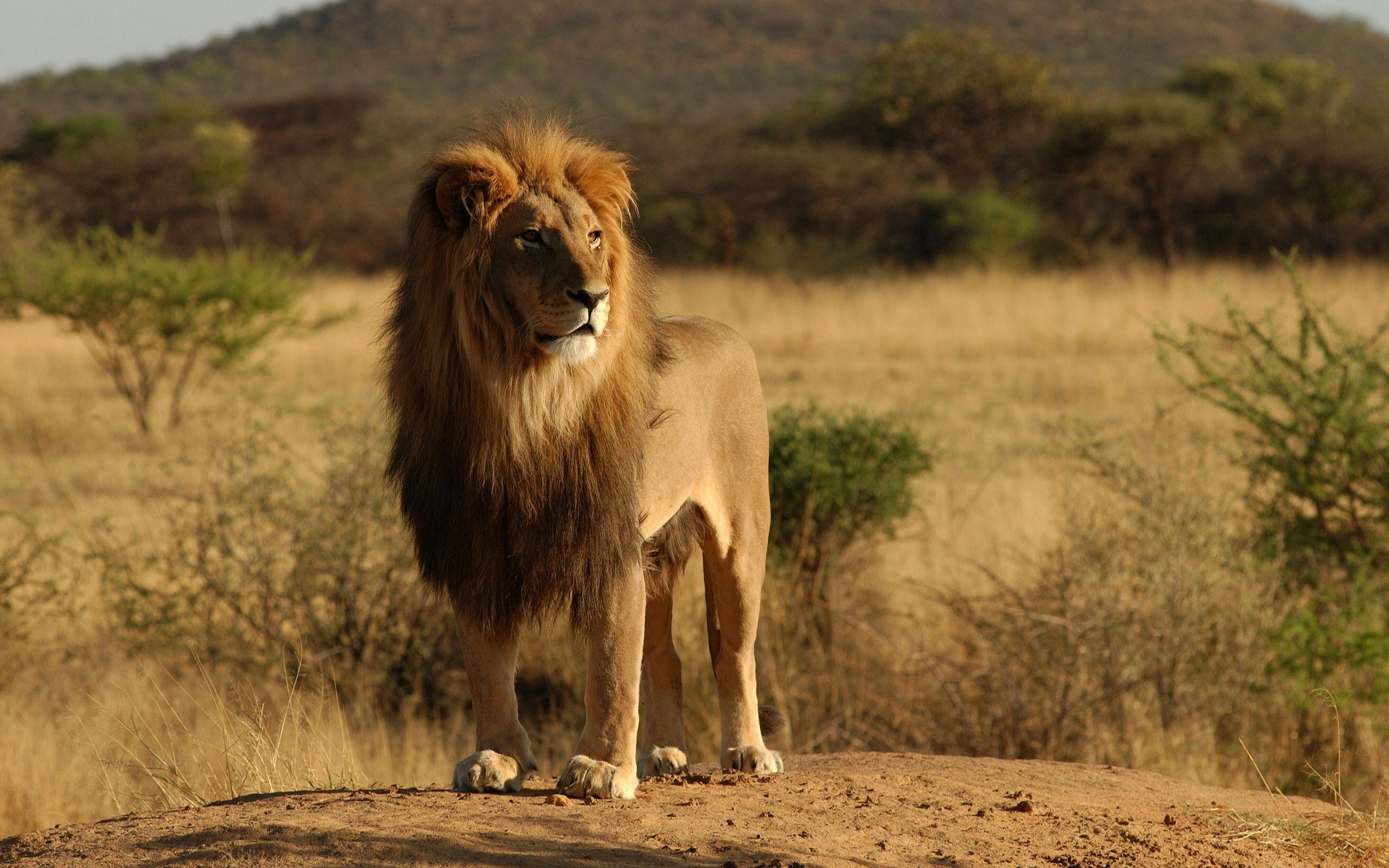 African Lion Wallpapers, Free Images, Top Lions HD