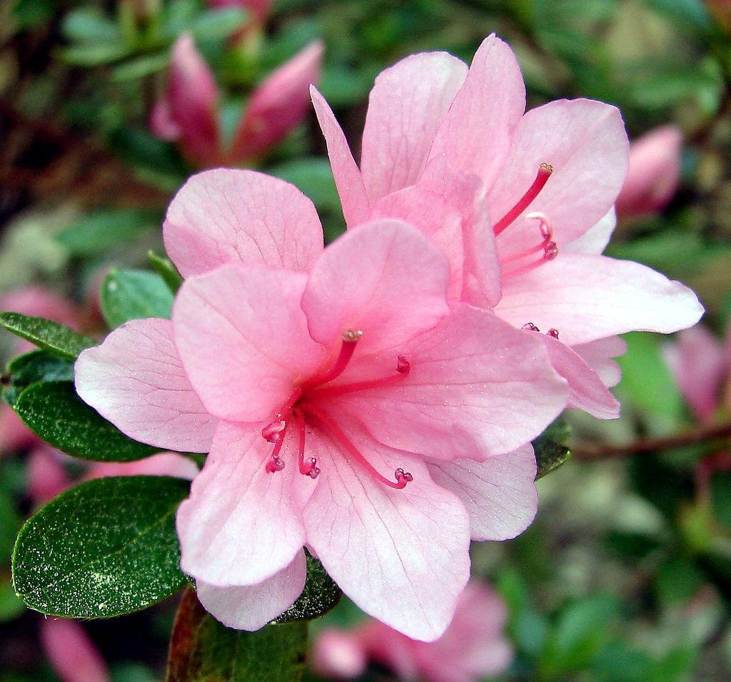 Azaleas Flowers Bing images Rododendrom Pinterest