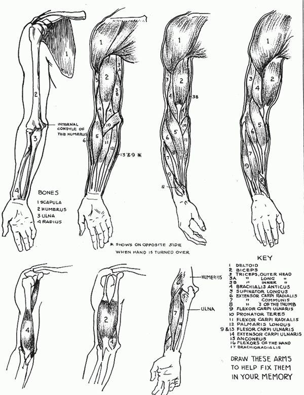 arm muscle anatomy muscle anatomy and arm muscles on pinterest