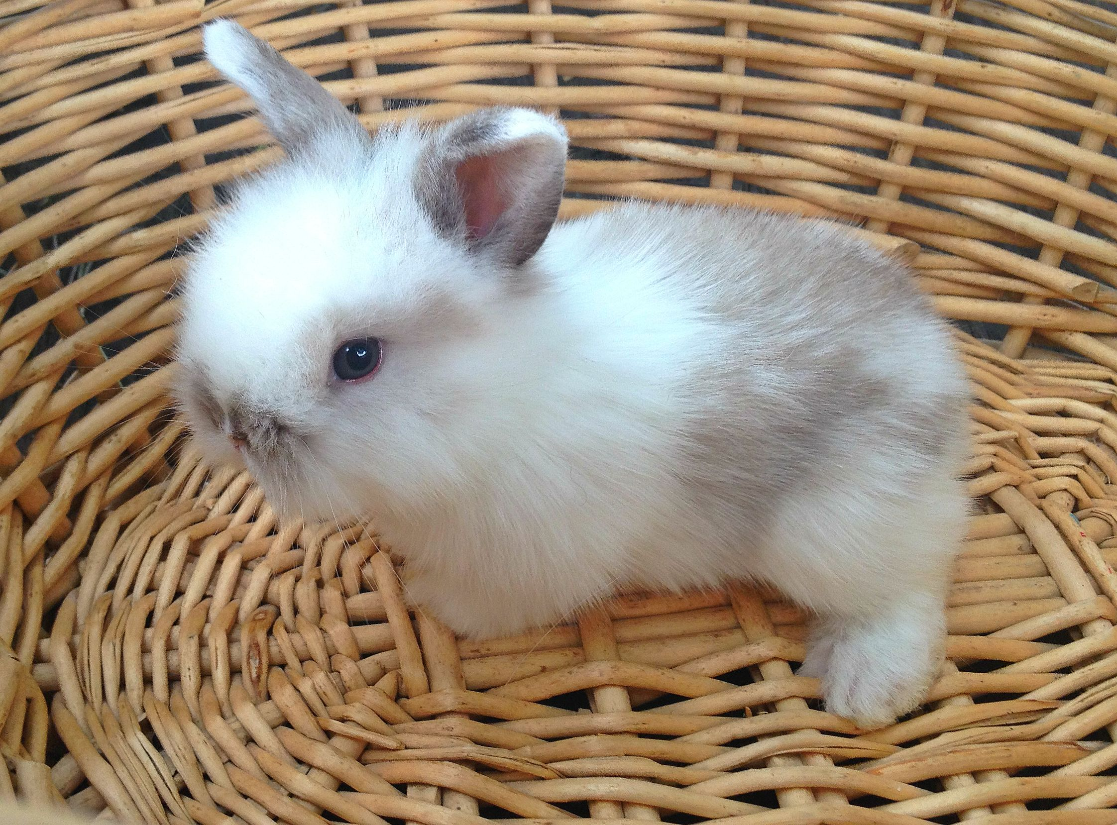 Bunnies! So stinkin cute. This is a lionhead and American