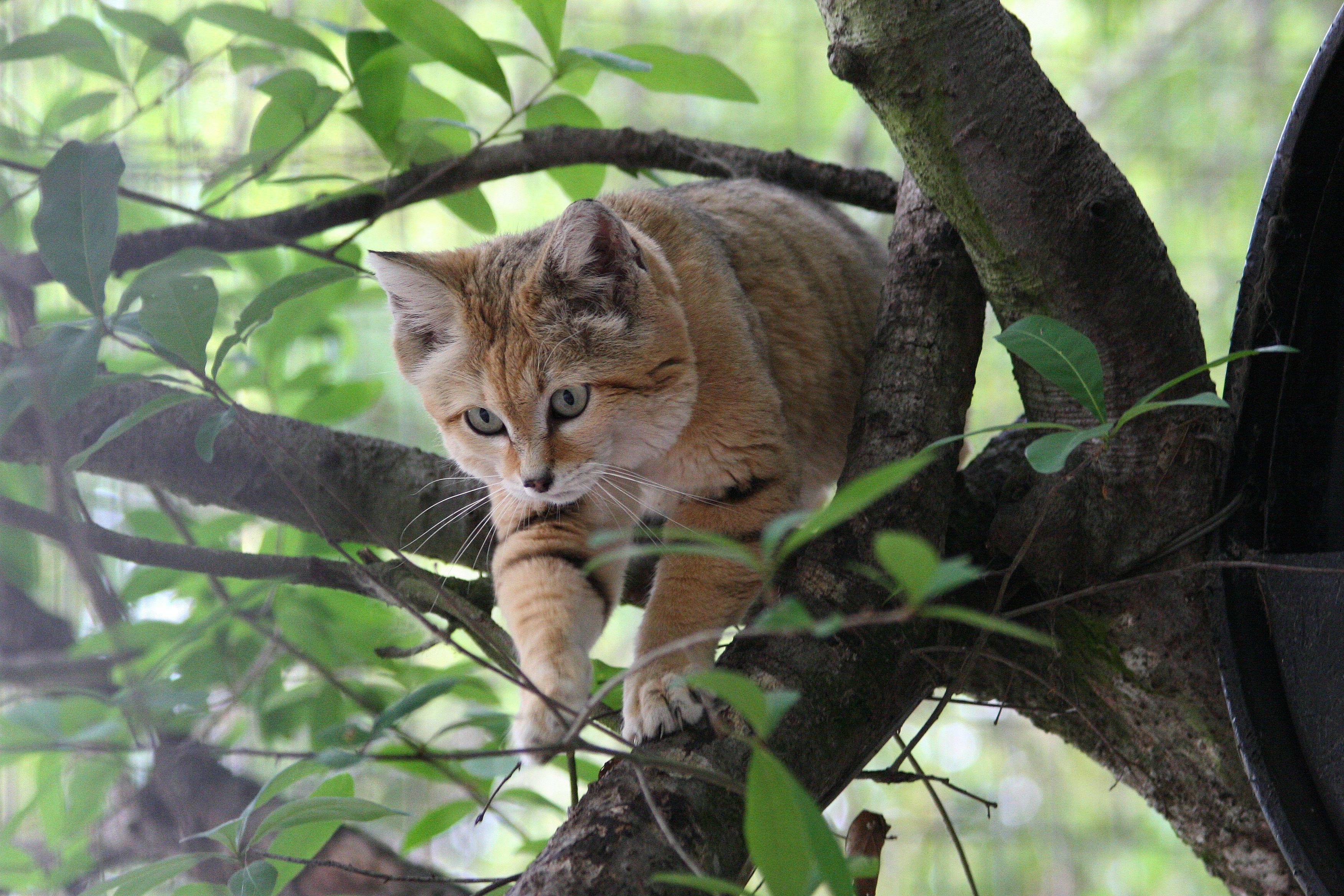 Sand Cat. Big Cat Rescue, Tampa, Florida Big Cat Rescue
