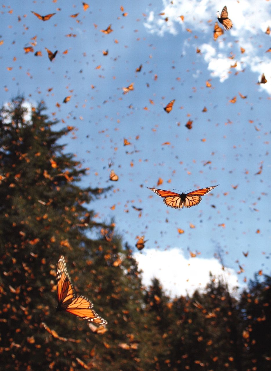 Migrating monarch butterflies (Danaus plexippus) travel