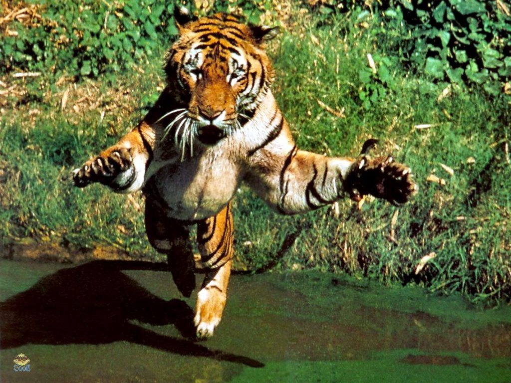 Tigers do not normally view humans as prey, but will