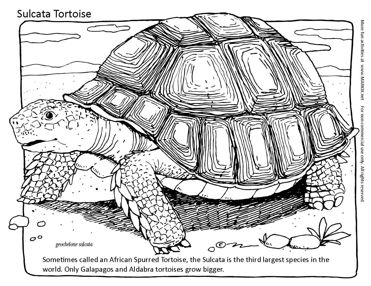 Tortoise Coloring Page Sometimes Called An African