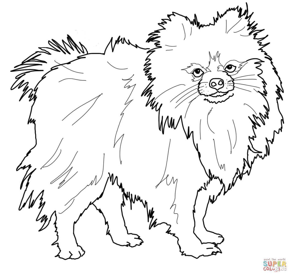 Pomeranian Dog Animal Pet Coloring Page
