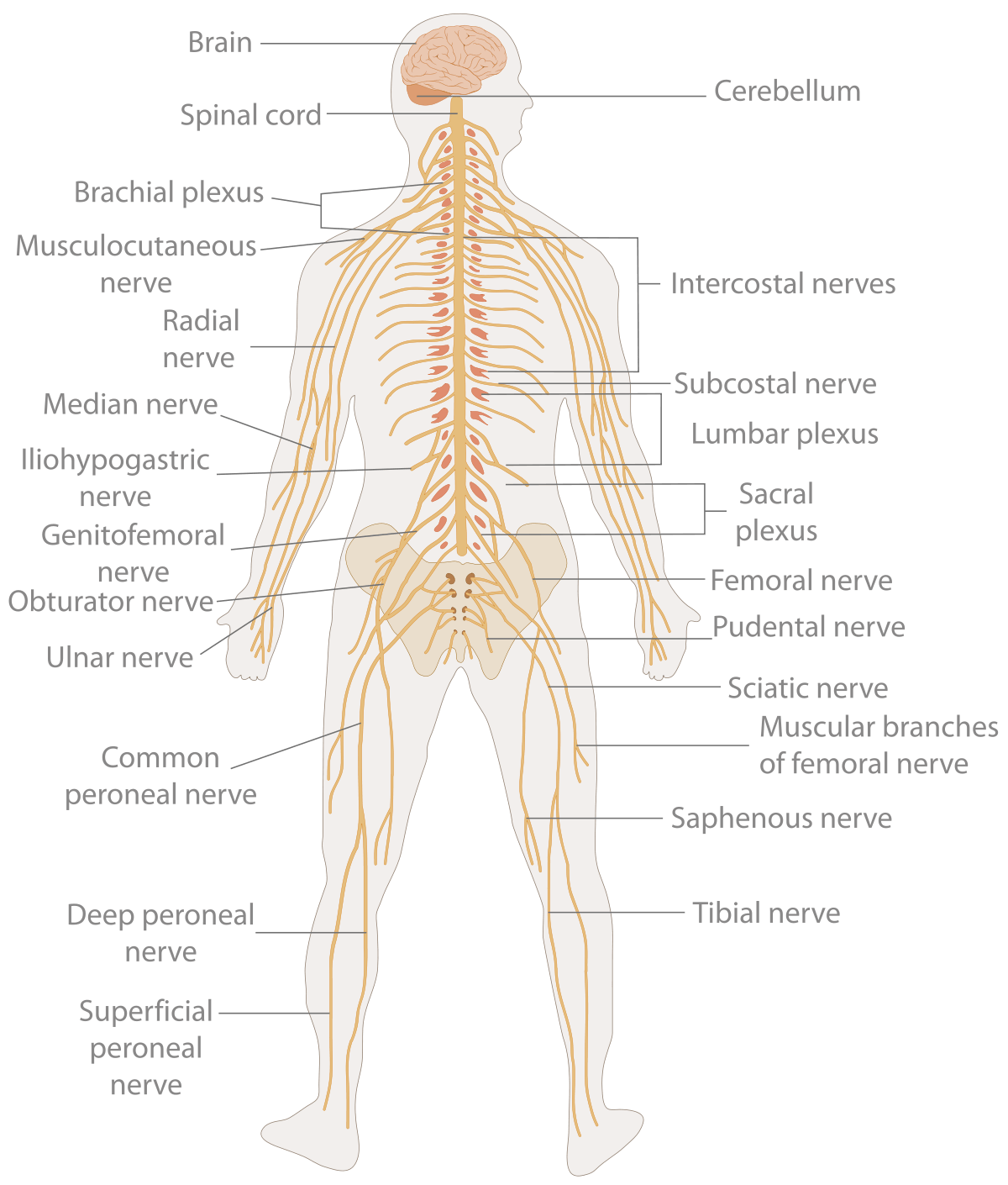 Te Nervous System Diagram