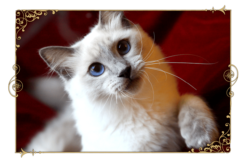 Traditional Siamese Cat Breeder Kittens for Sale Applehead