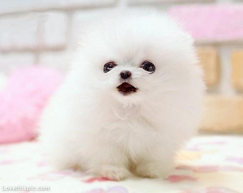 Little Fluffy Ball of Cute cute animals sweet white dog