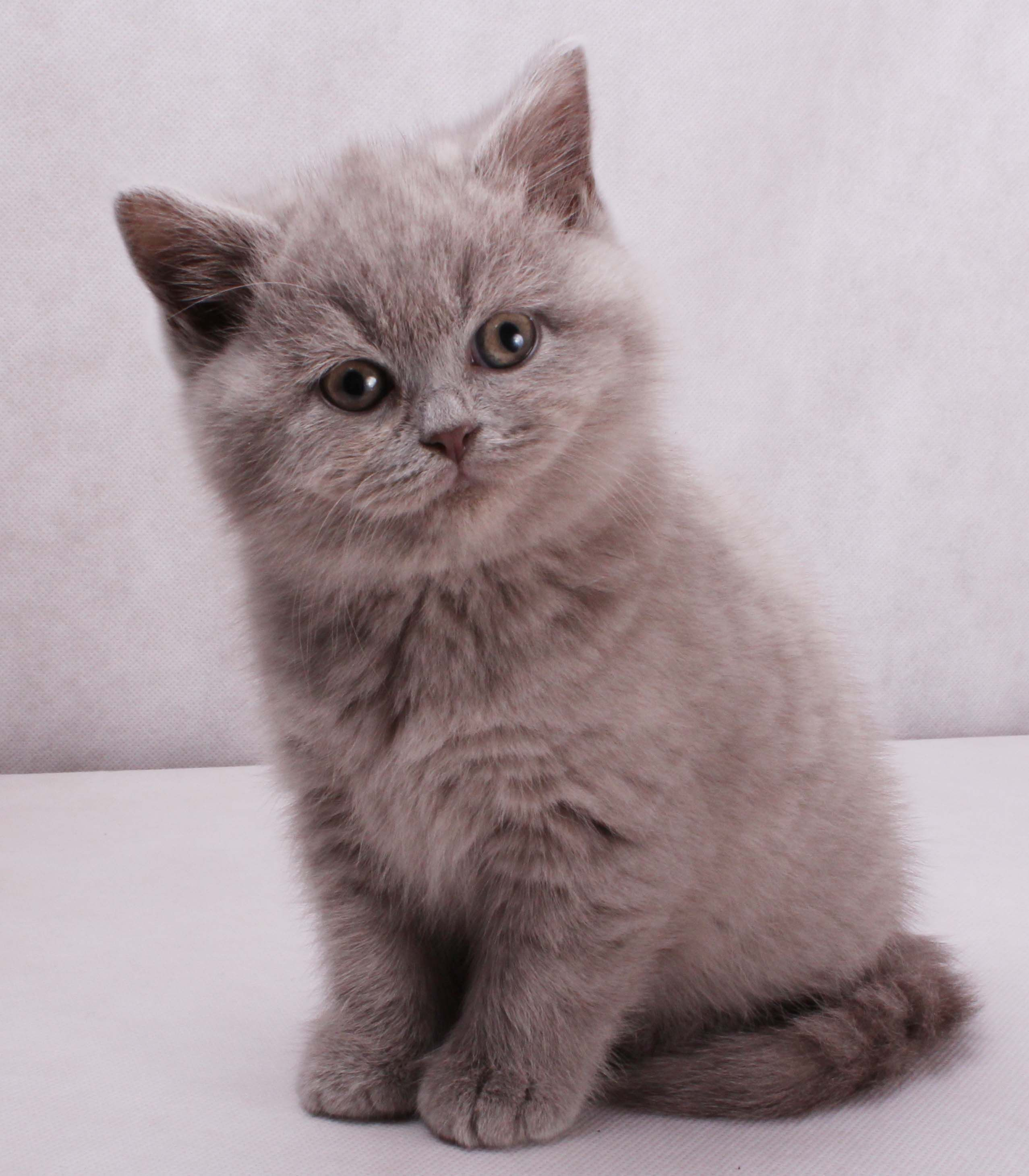 Lillac British Kitten British shorthair cats lilac