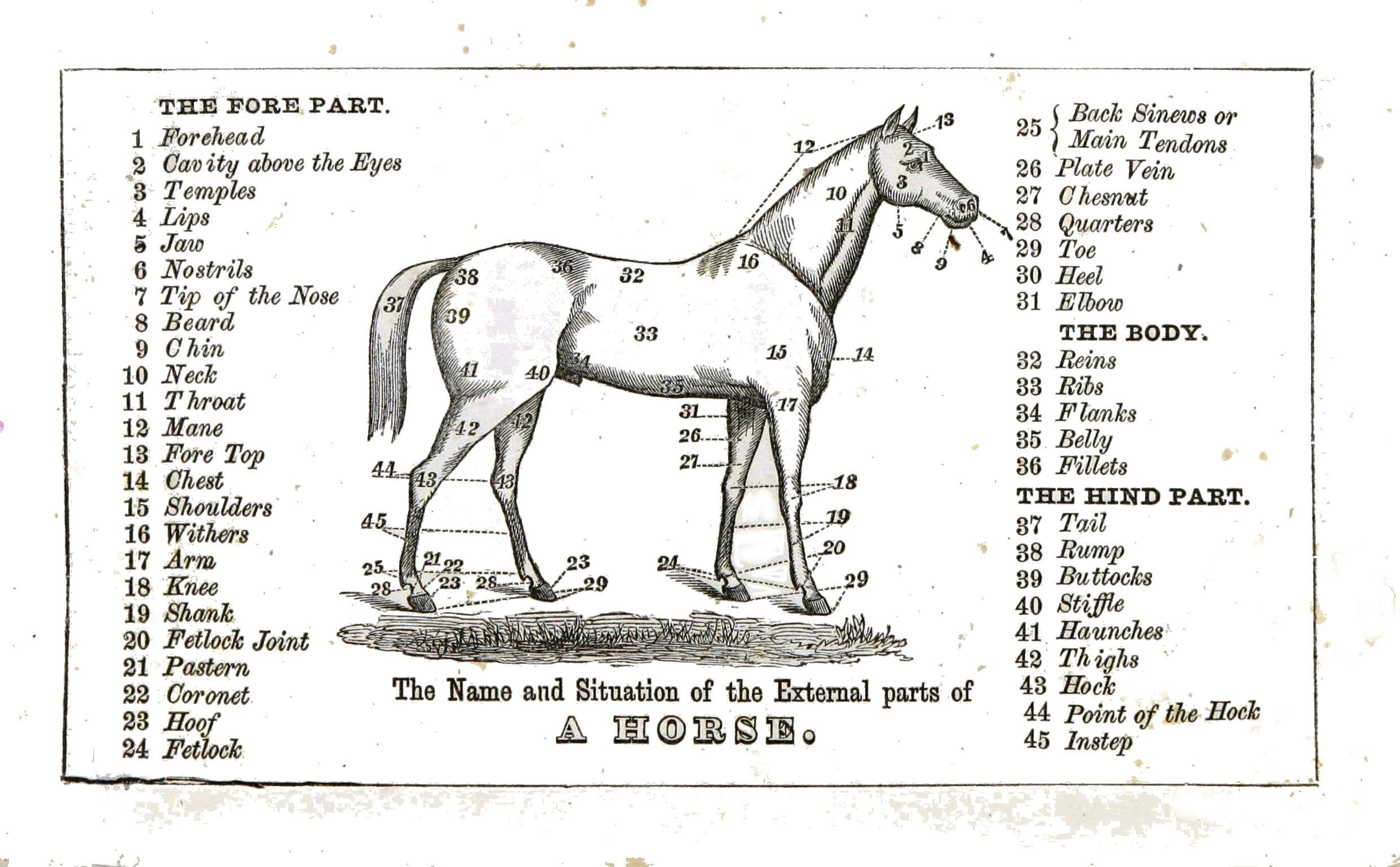 Horse Body Parts Chart