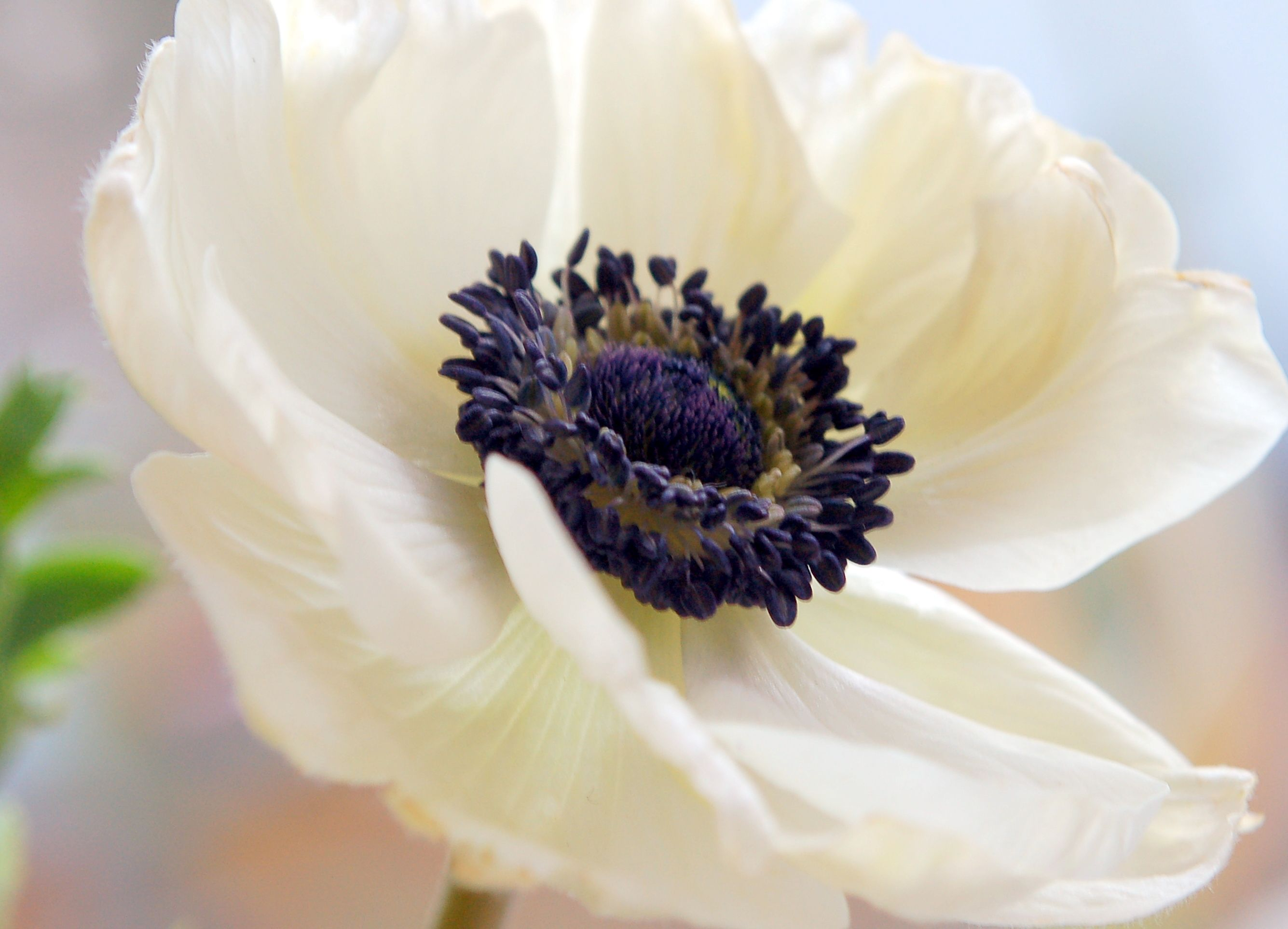 let's learn about flowers anemone edition Flowers