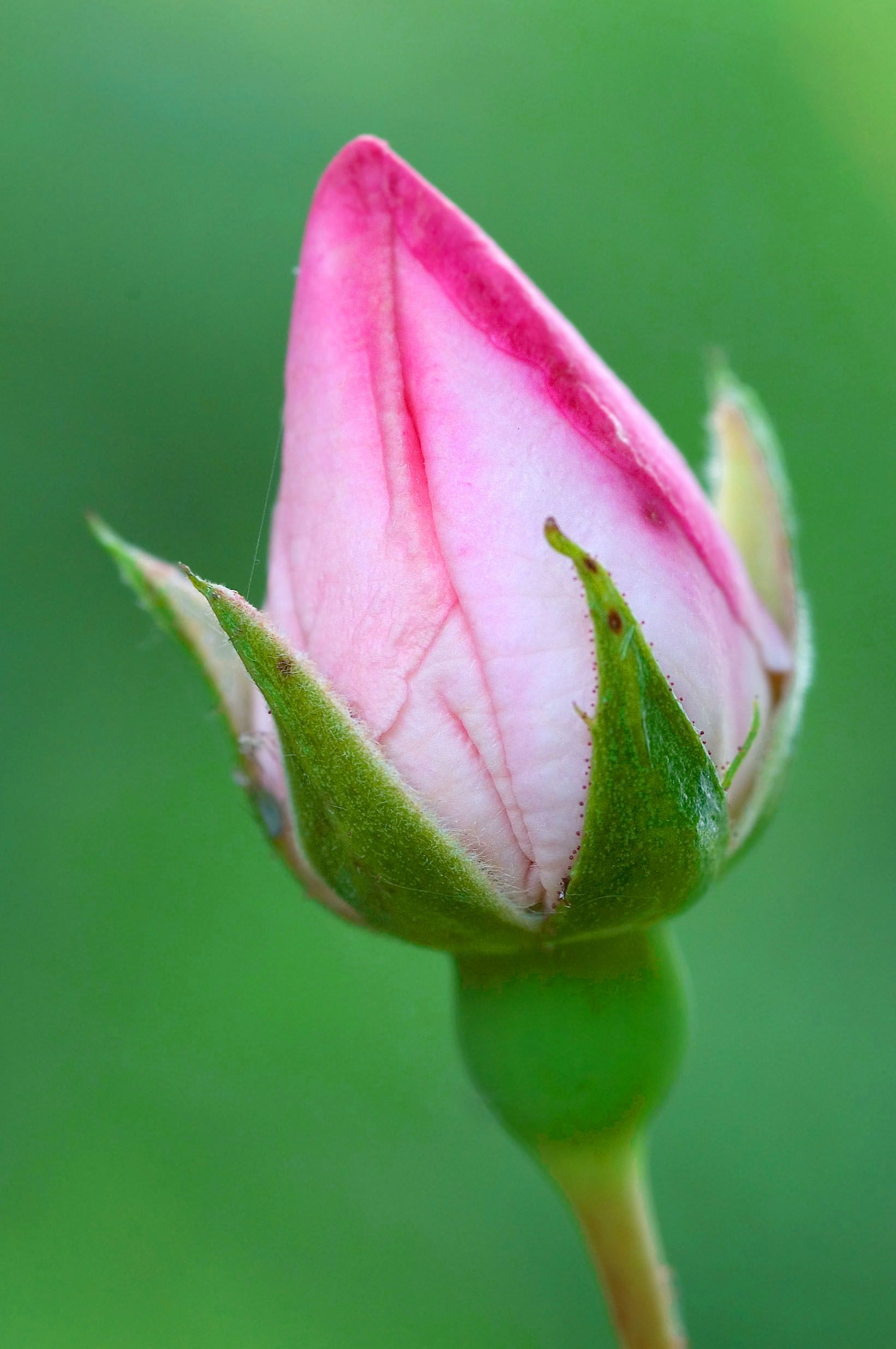 The Most Beautiful Pink Rose buds Description Rose bud