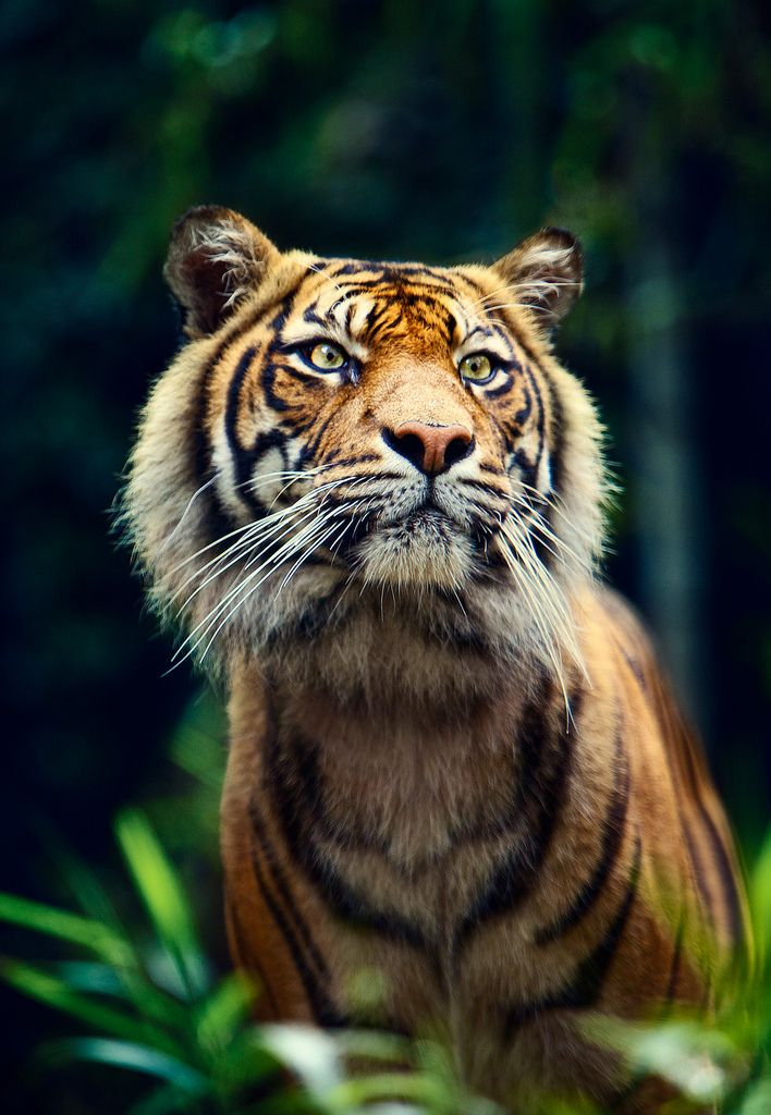 Tigers are the most variable in size of all big cats, even