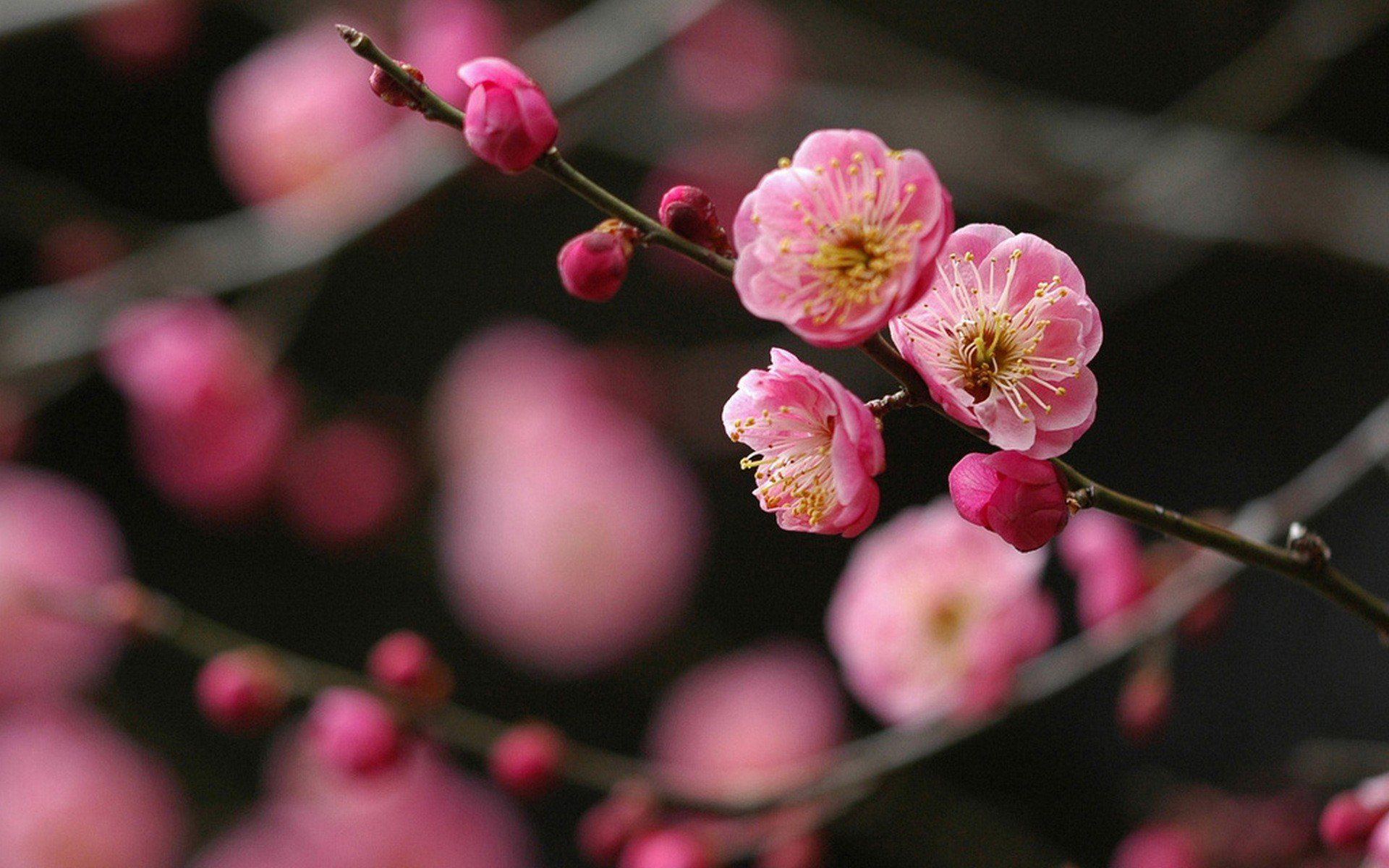 japanese cherry blossom flower wallpapers android for