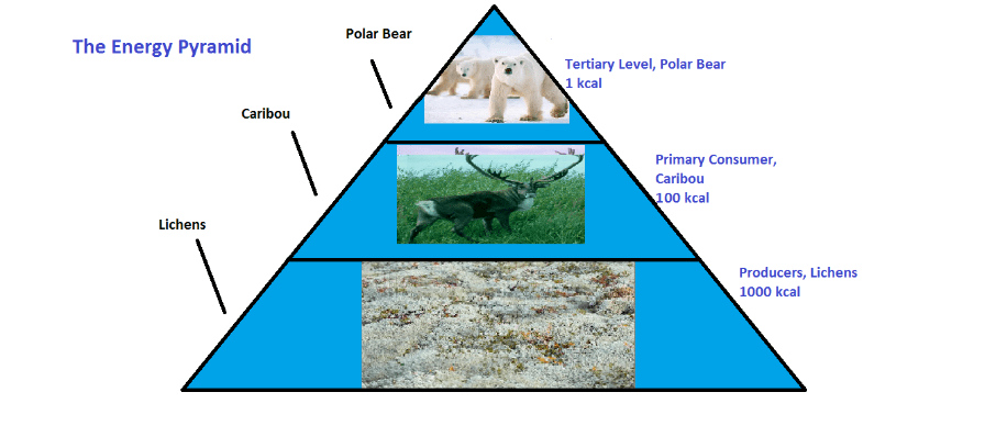 Arctic Tundra Ecosystem Project The Energy Pyramid