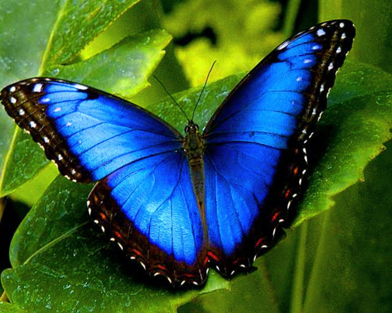 butterfly wallpaper | blue butterfly animals insects macro desktop