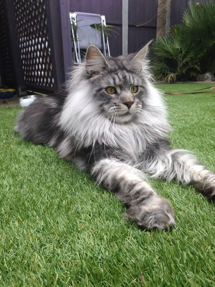 Dashiell, our fabulous Norwegian Forest Cat more than 3