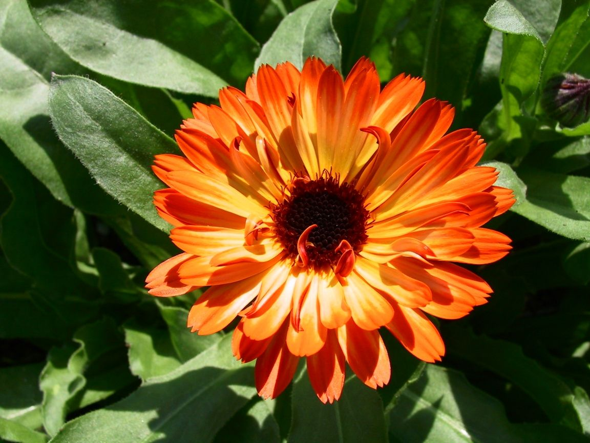 calendula flower Tattoo & piercing possibilities