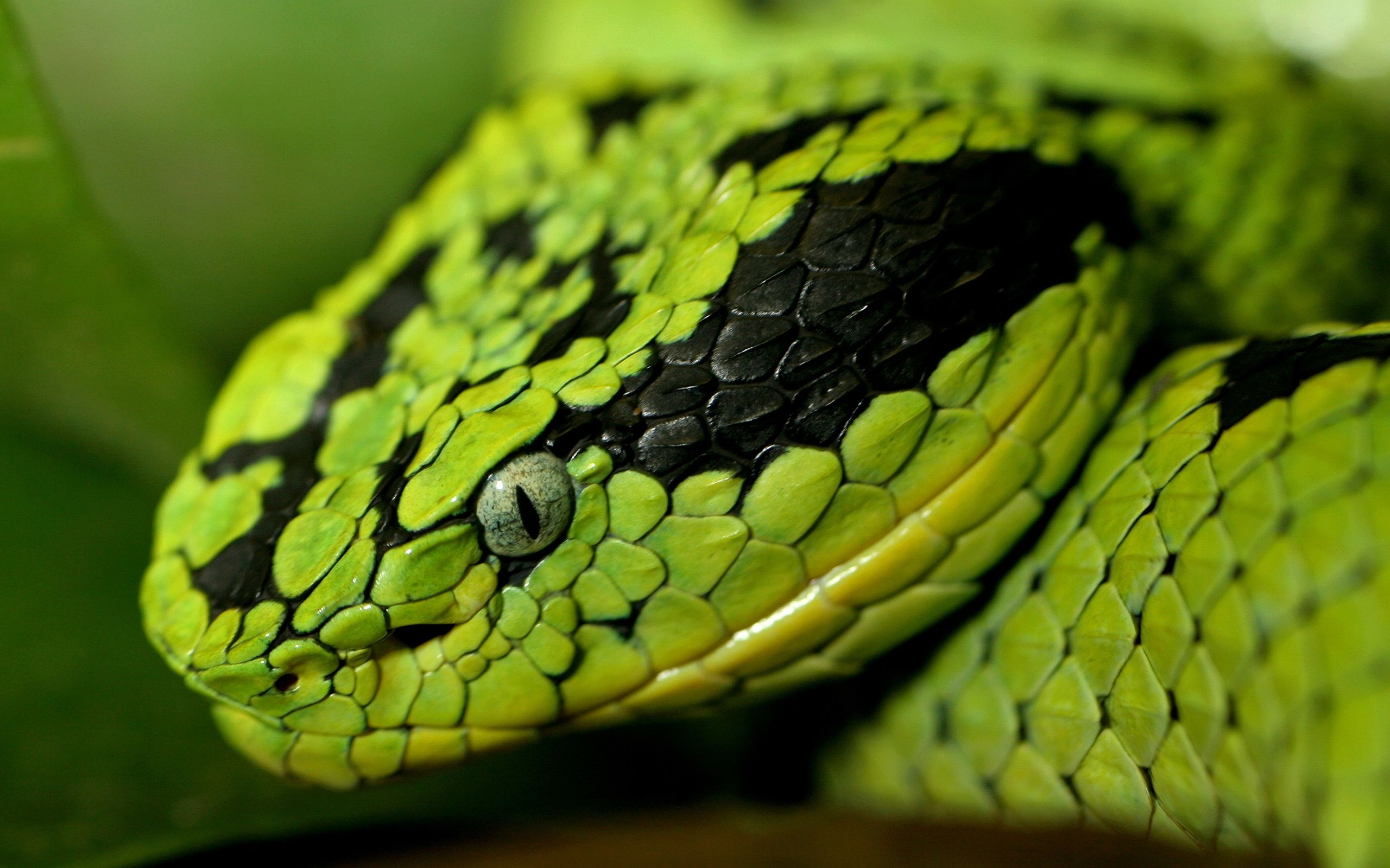 colorful snakes | green snake head wallpapers pictures photos