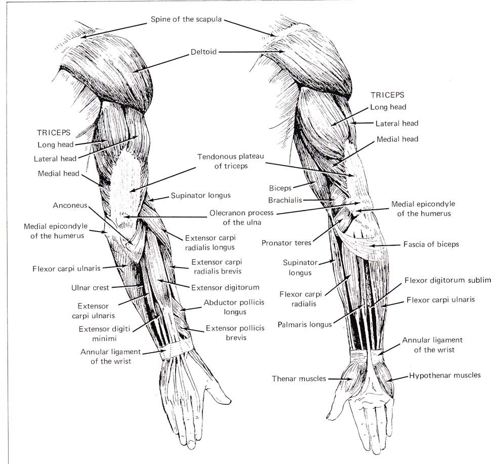 1000 images about anatomy references on pinterest arm muscles