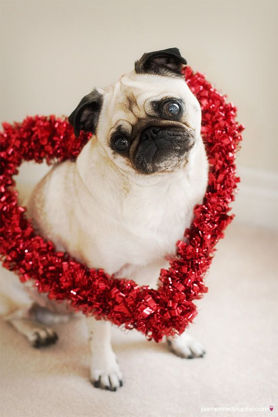 Valentine Pug I Know Its A Little Early Animals