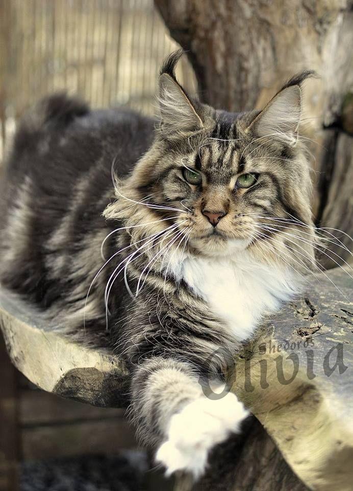 Olivia Shedoros Maine Coon Cattery ©Dorothea Scibura http
