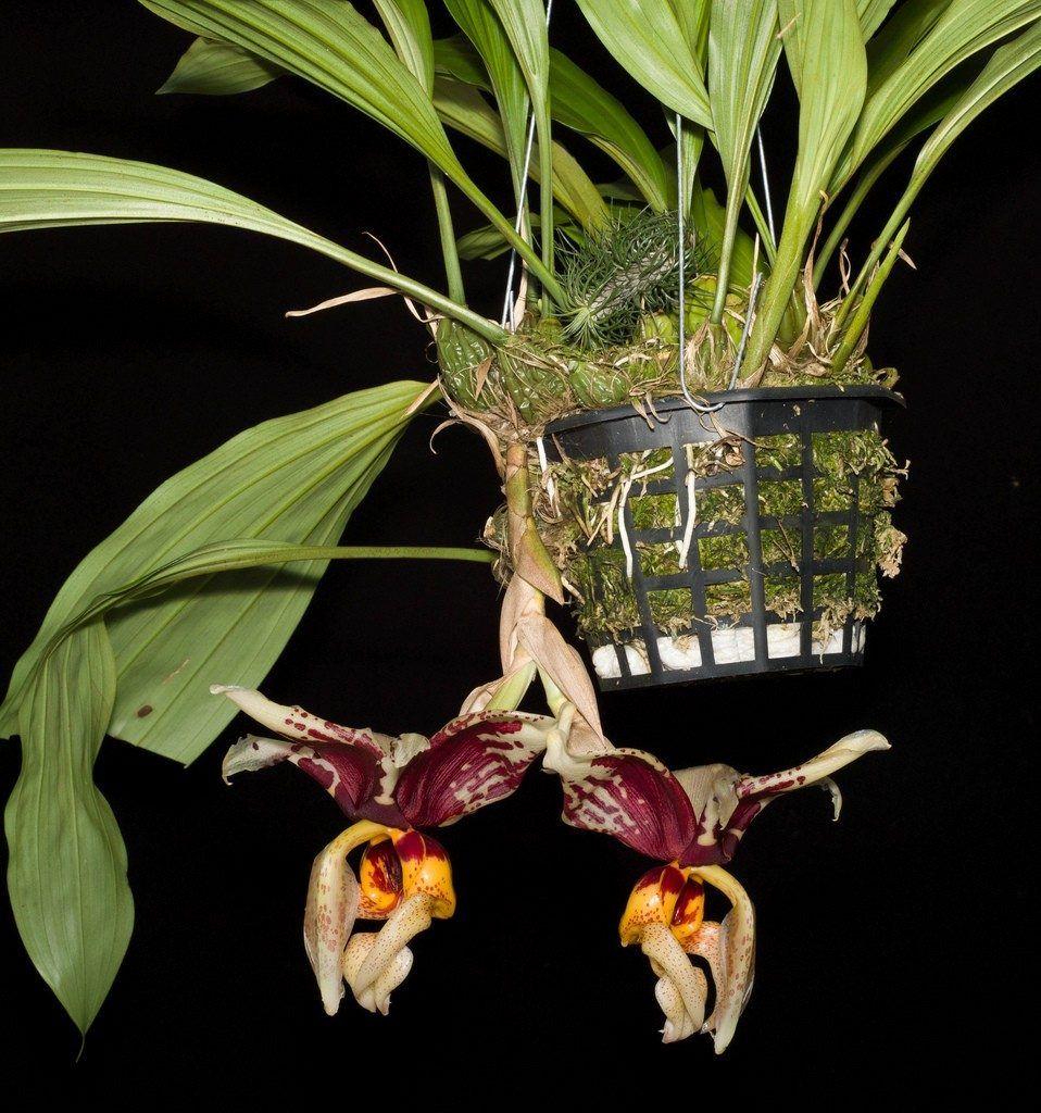 orquideastanhopeatigrina254511MLB20561543238_012016F