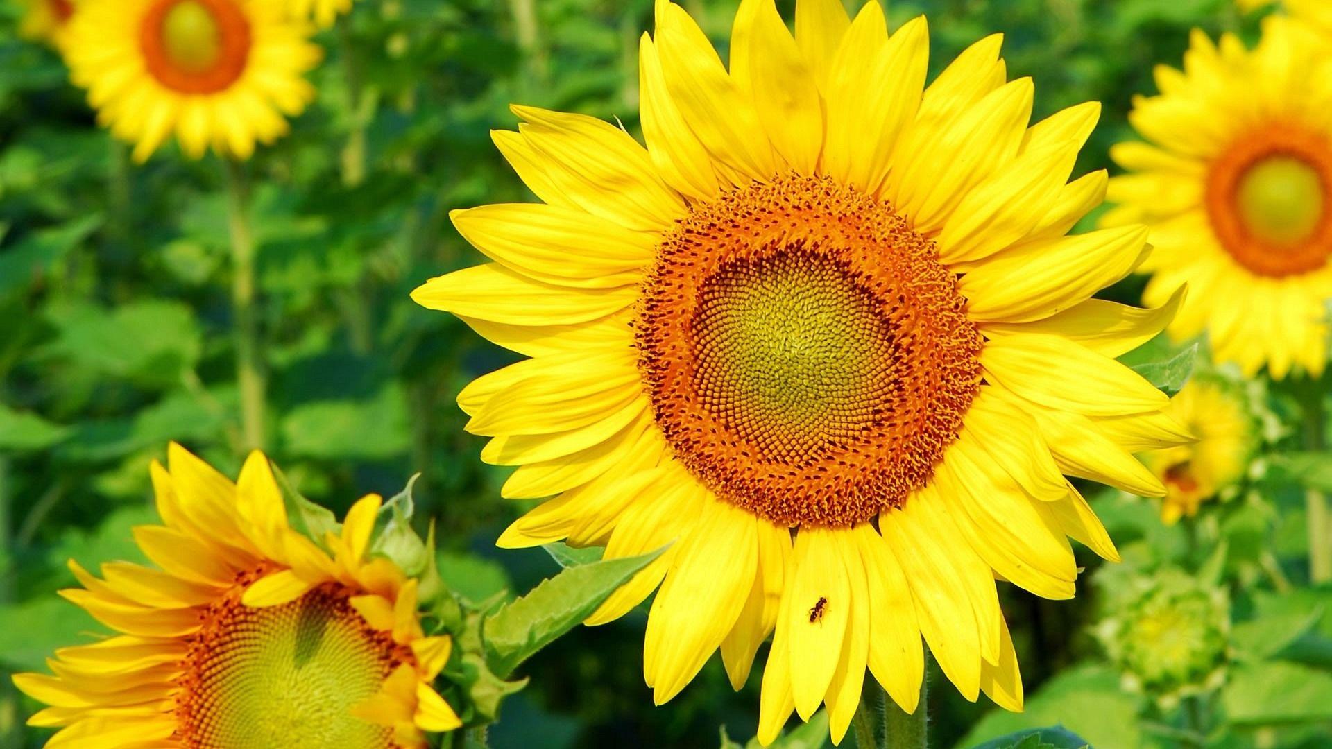 Sunflower Desktop Wallpapers THIS Wallpaper HD
