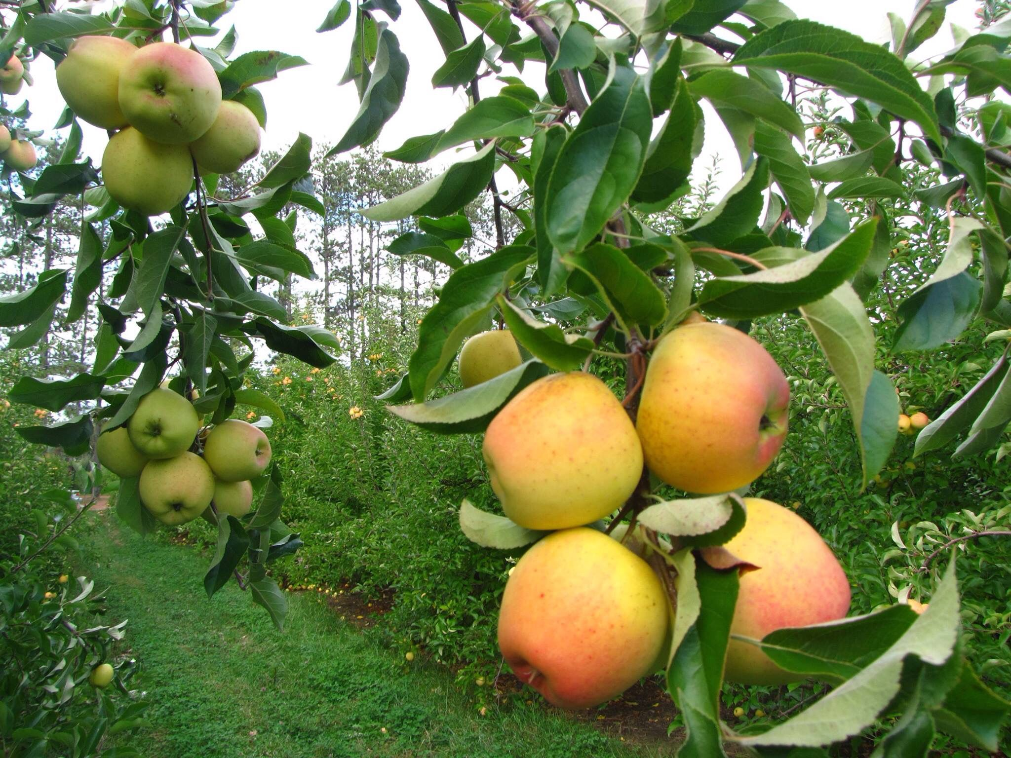 GOLDEN APPLES ORCHARDS IN HUNZA VALLEY, GILGIT BALTISTAN