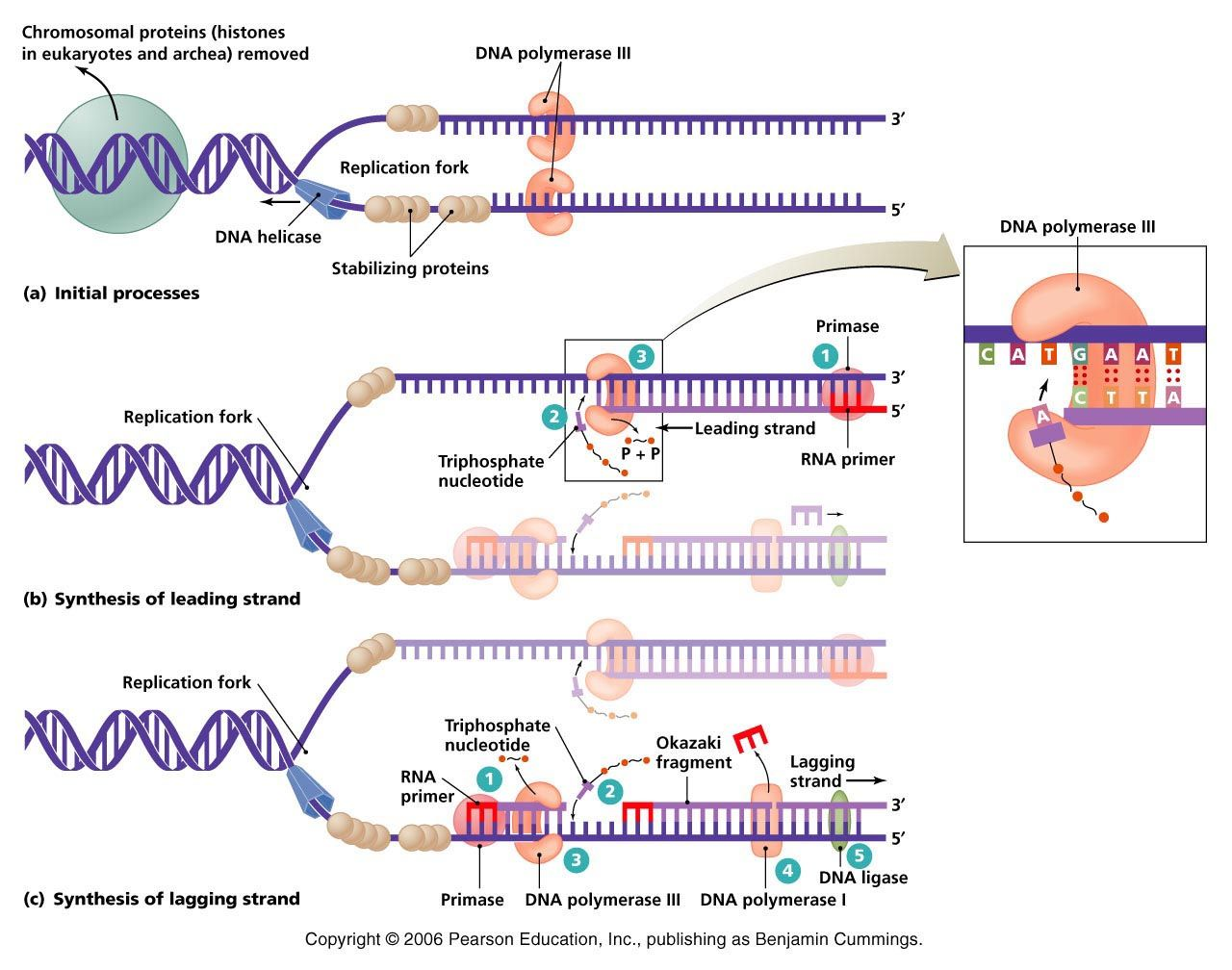 dna replication BCHM 2024 Concepts of Biochemistry