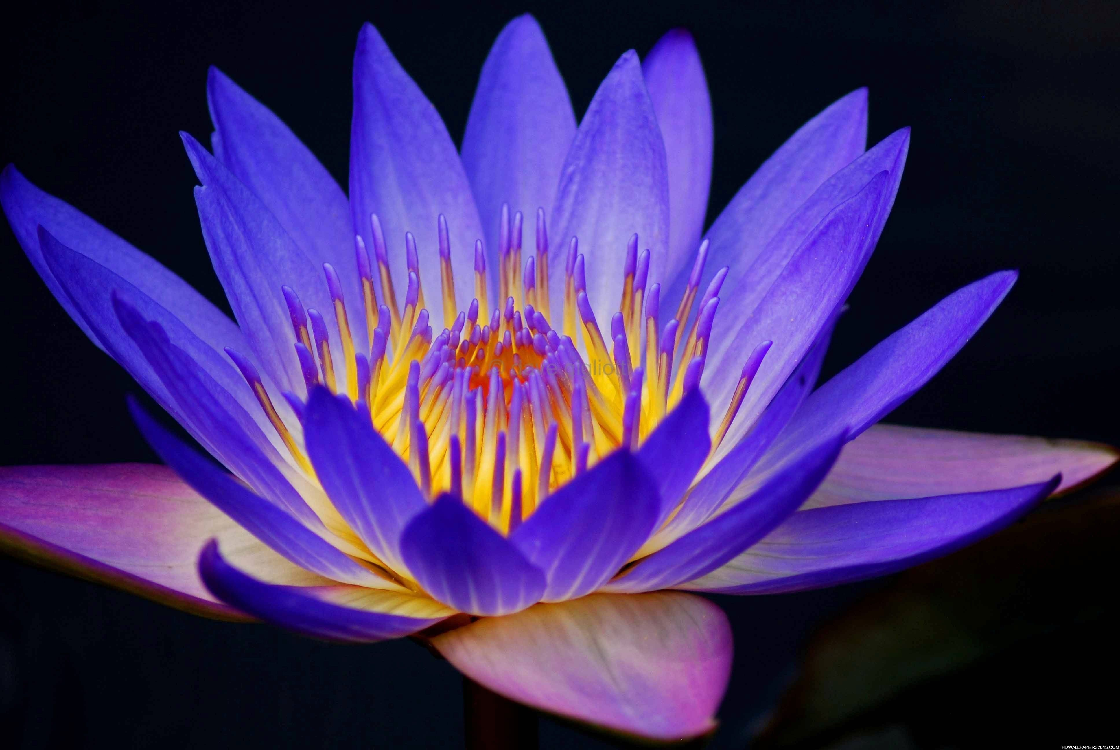 Lotus Flower Wallpapers 1080p Natures Wallpapers