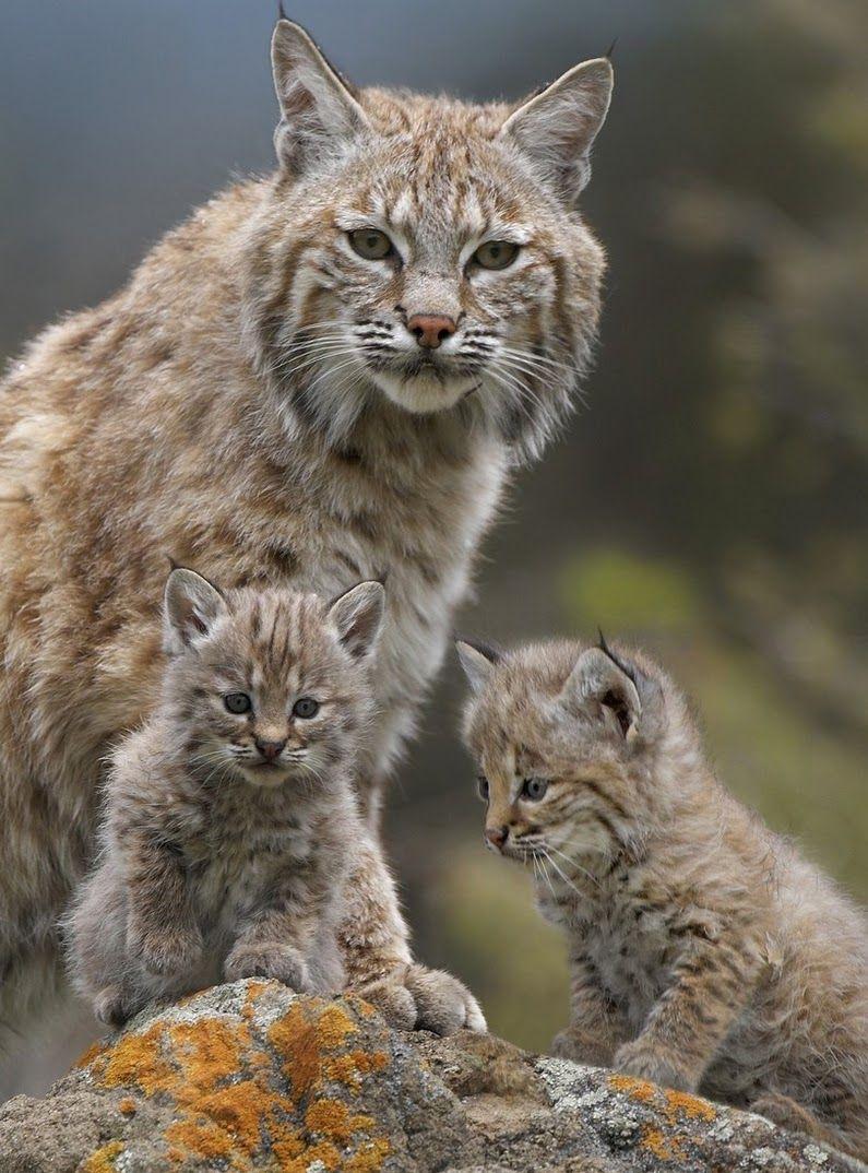 Bobcat queen and kittens Big Cats Pinterest Kittens