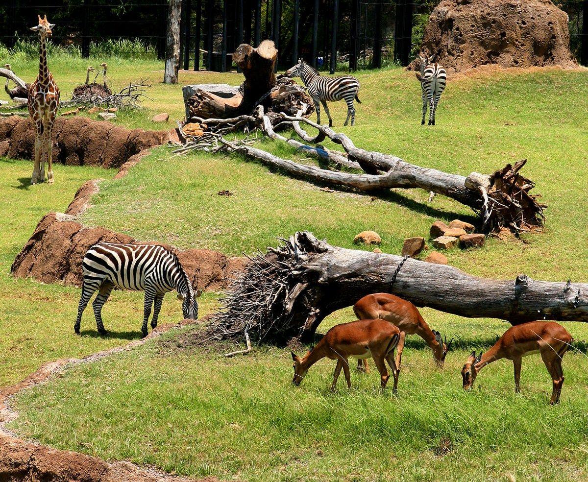 Giants of the Savanna, Dallas Zoo, Dallas, Texas, USA, by
