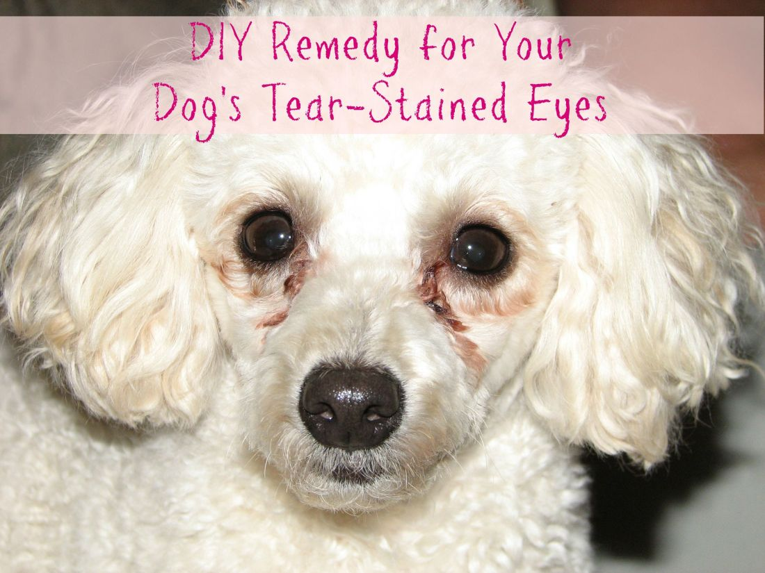 Does your dog get tear stains under her eyes heres a diy
