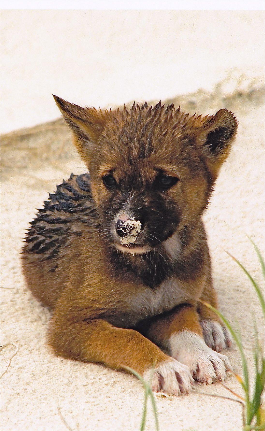 Dingo Fraser island, Queensland animals and birds