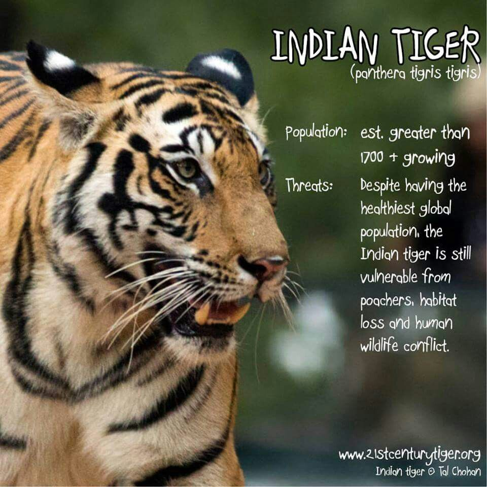 Indian tigers Beautiful Tigers Pinterest Tigers and Cat