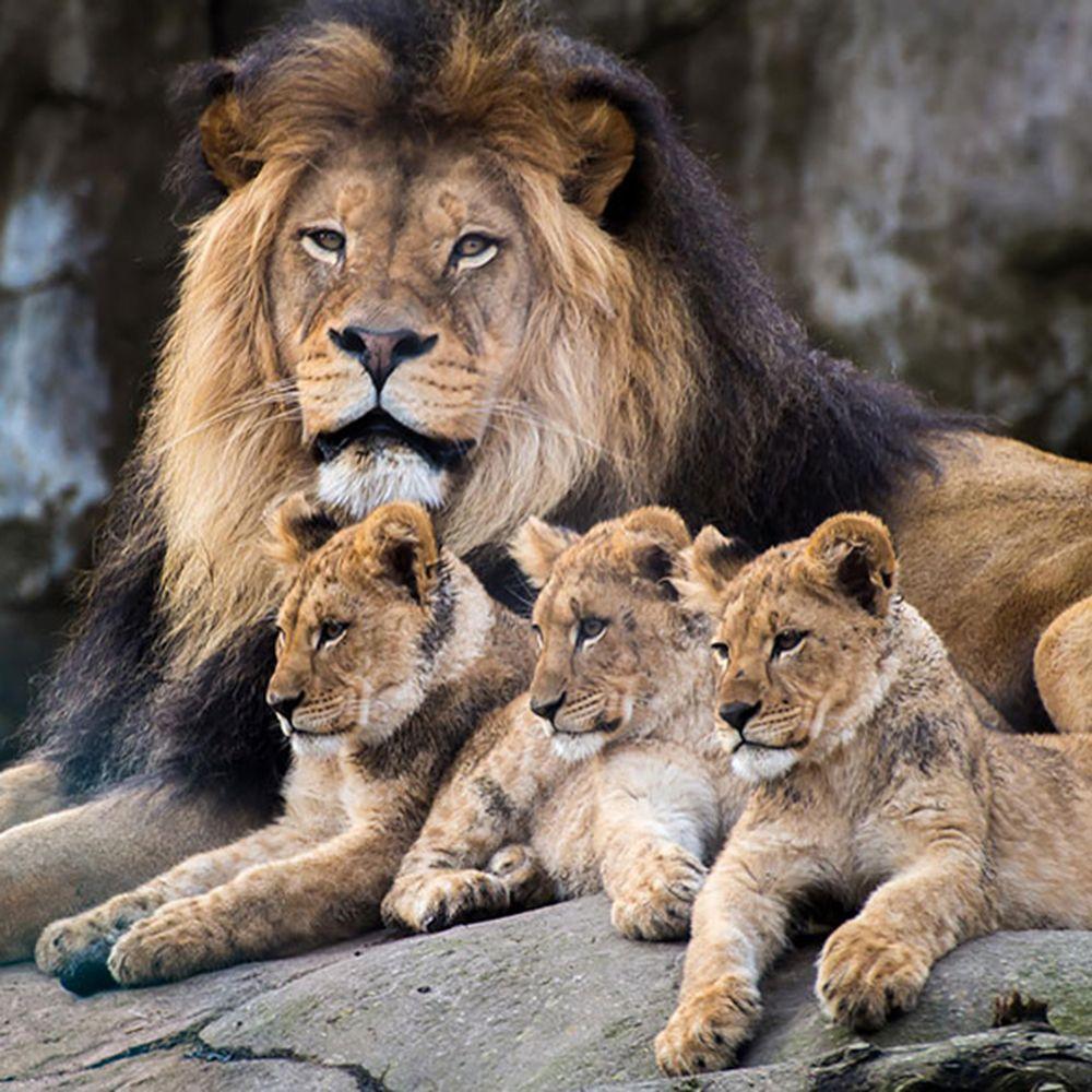 A lion family portrait. SAXOPRINT CreativeAwards Nature