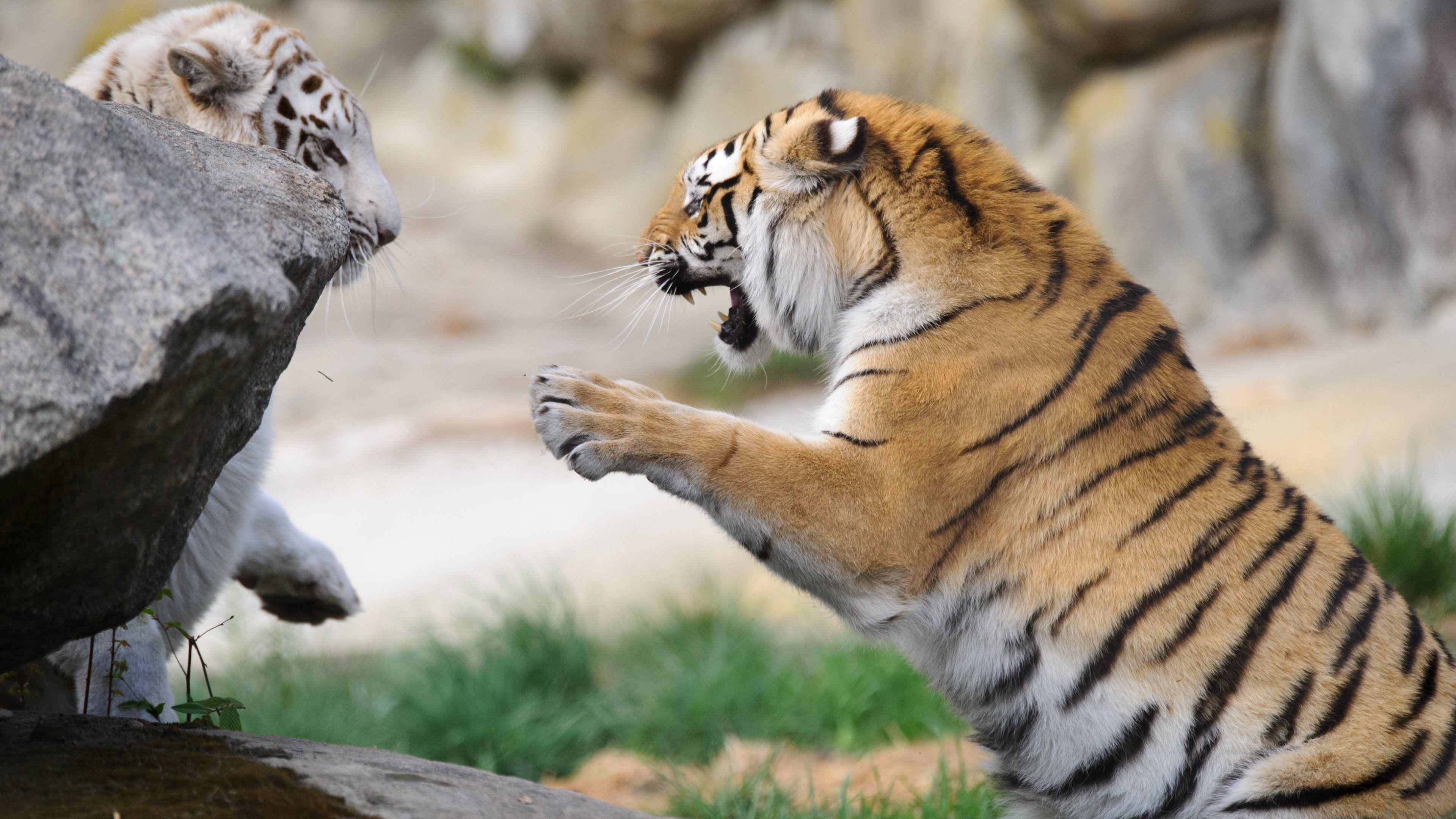 Animal Tiger Animal Nature Fight White Black