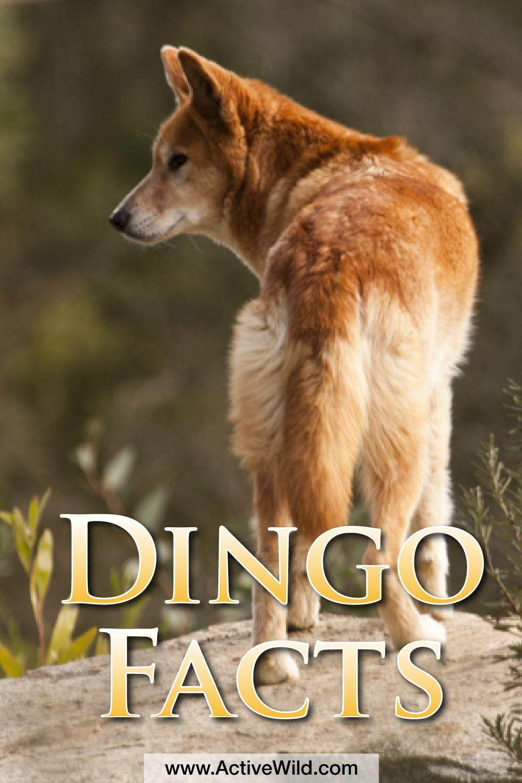 Dingo Facts, Info & Pictures Life, Habitat, Diet, Threats