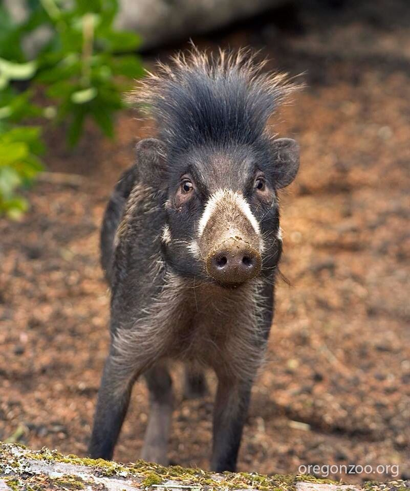 The Visayan warty pig is a critically endangered species