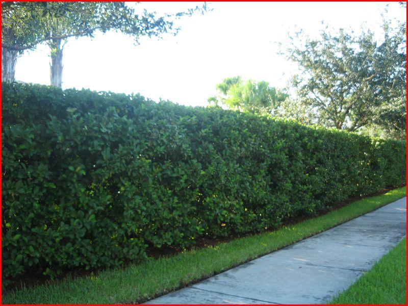 Sweet Viburnum Hedge Hedges For Privacy Pinterest