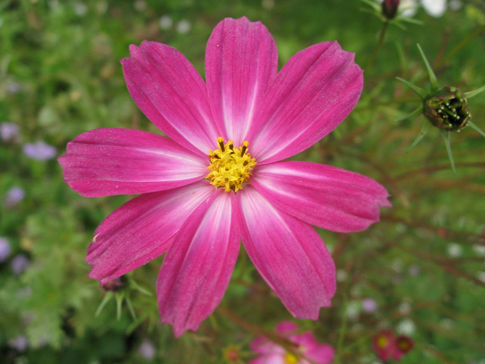 Aster Flower Meaning Symbolism Flower Meanings, Pictures