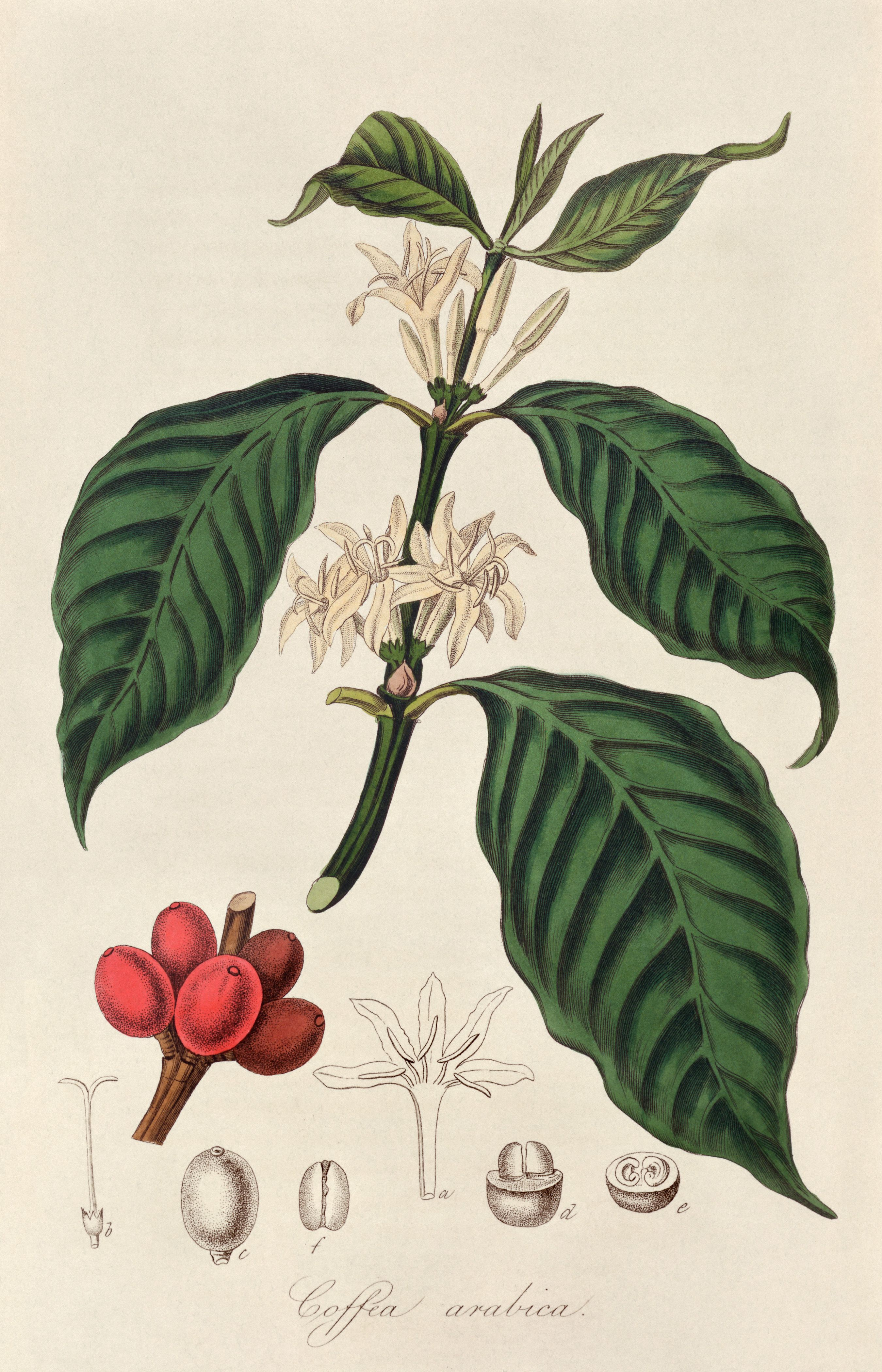 COFFEE PLANT … Botanica Pinterest Coffee plant