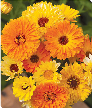 MIXCALENDULA is the flower for October The Victorians