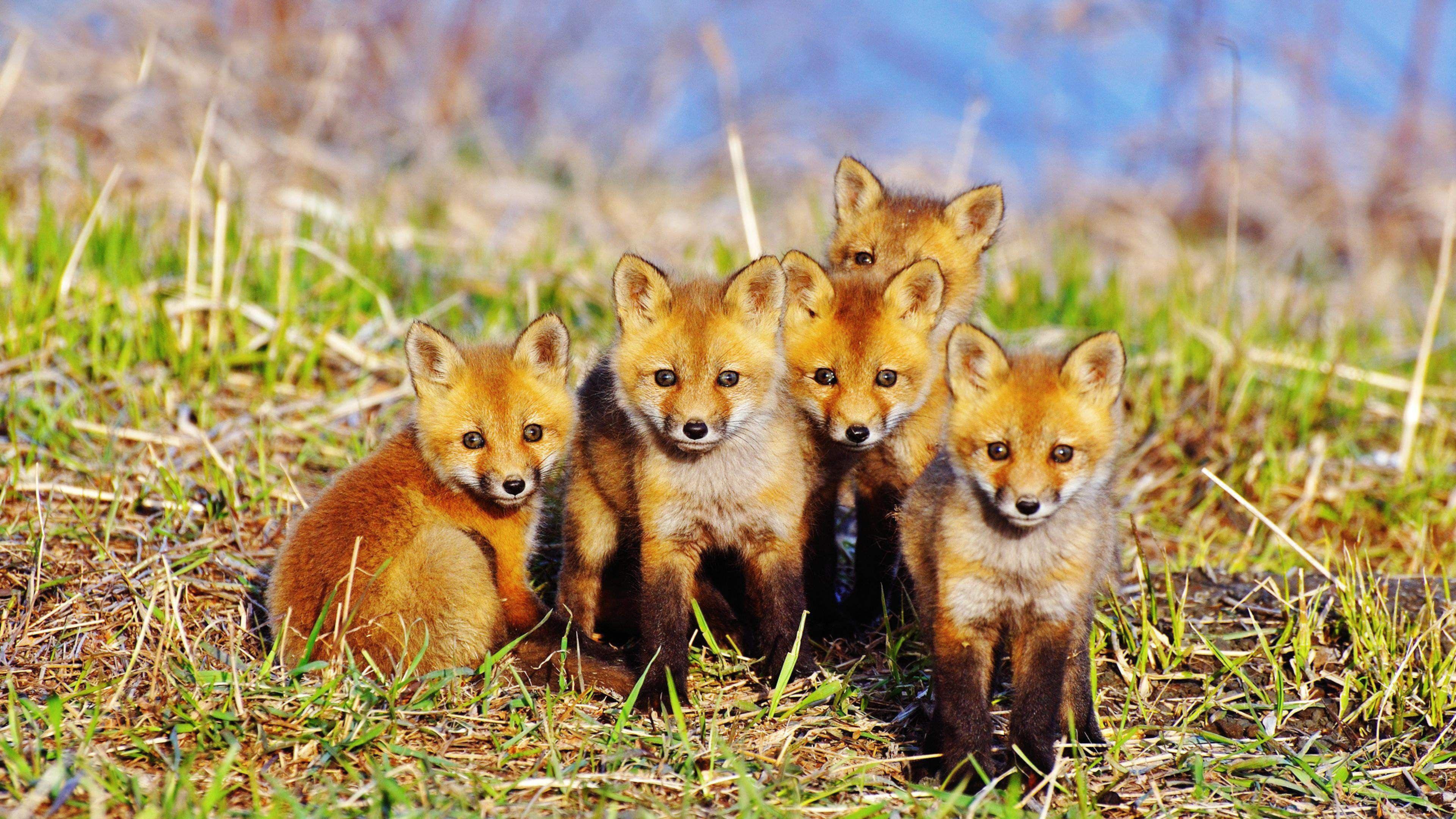 baby red fox 4k ultra hd wallpaper ololoshenka