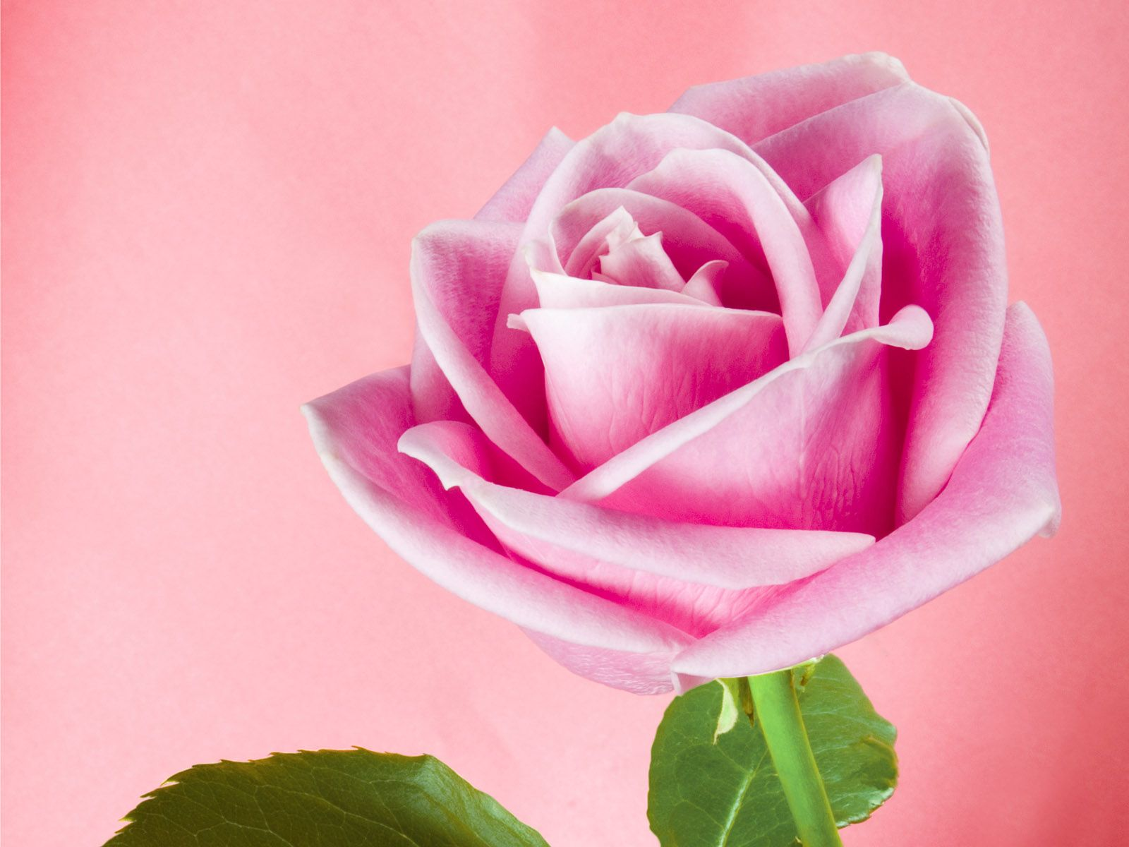 Pink Rose is the first political LGBT association in
